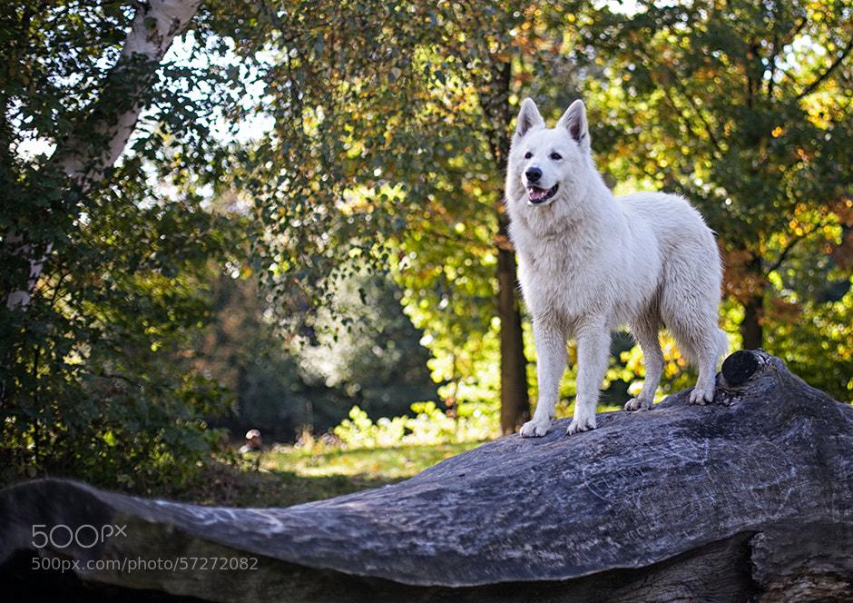 Photograph Vinci - Berger Blanc Suisse by Radoslaw Gruszczak on 500px
