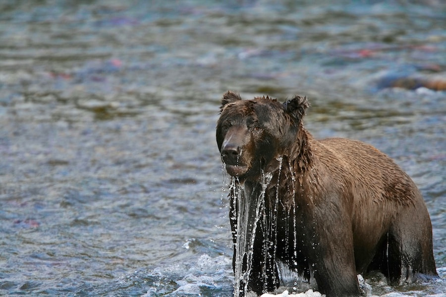 Photograph Disgruntled Bear by Buck Shreck on 500px