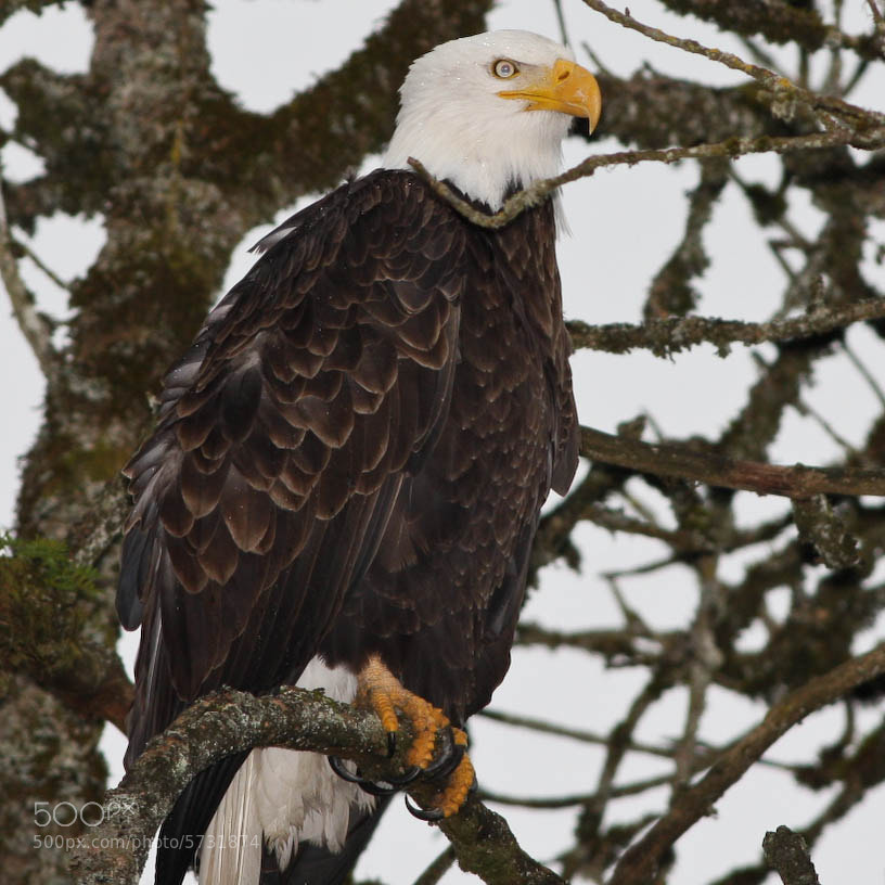 Photograph Bald Eagle by Vinnie Halpin on 500px
