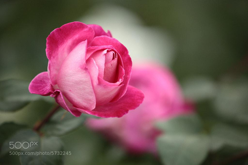 Photograph Rose of Nakanoshima Park by Alexey Kopytko on 500px