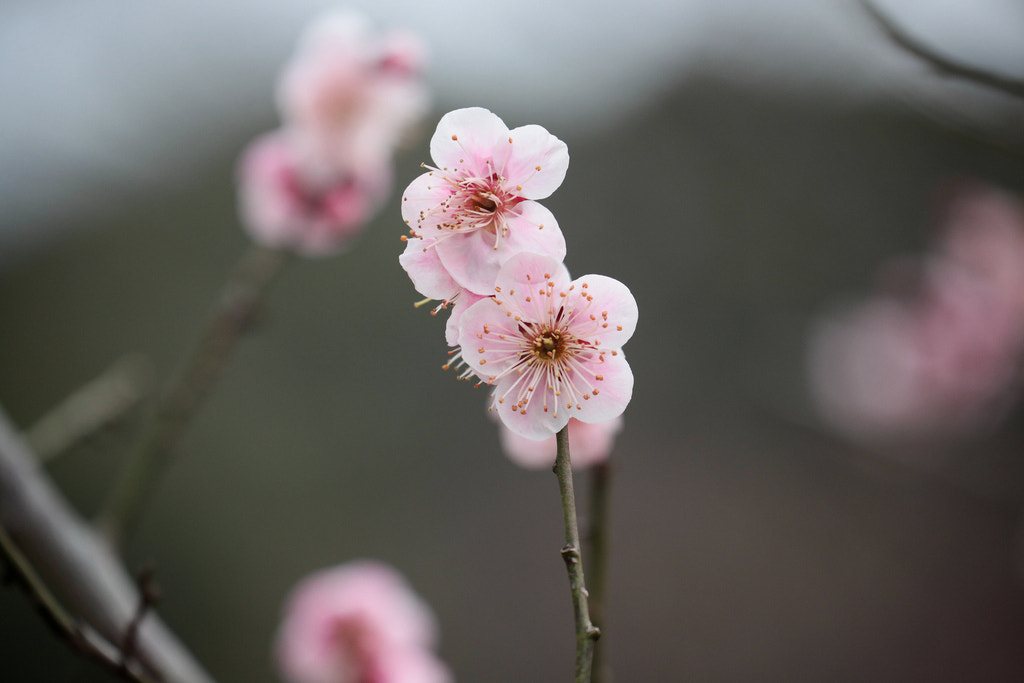 Photograph Blooming japanese plum, ume by sanmai on 500px
