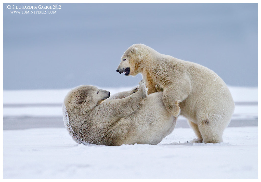 Photograph Polar Bears by Siddhardha Garige on 500px