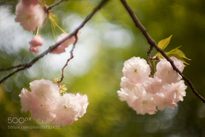 Photograph Cherry Blossom by Alexey Kopytko on 500px