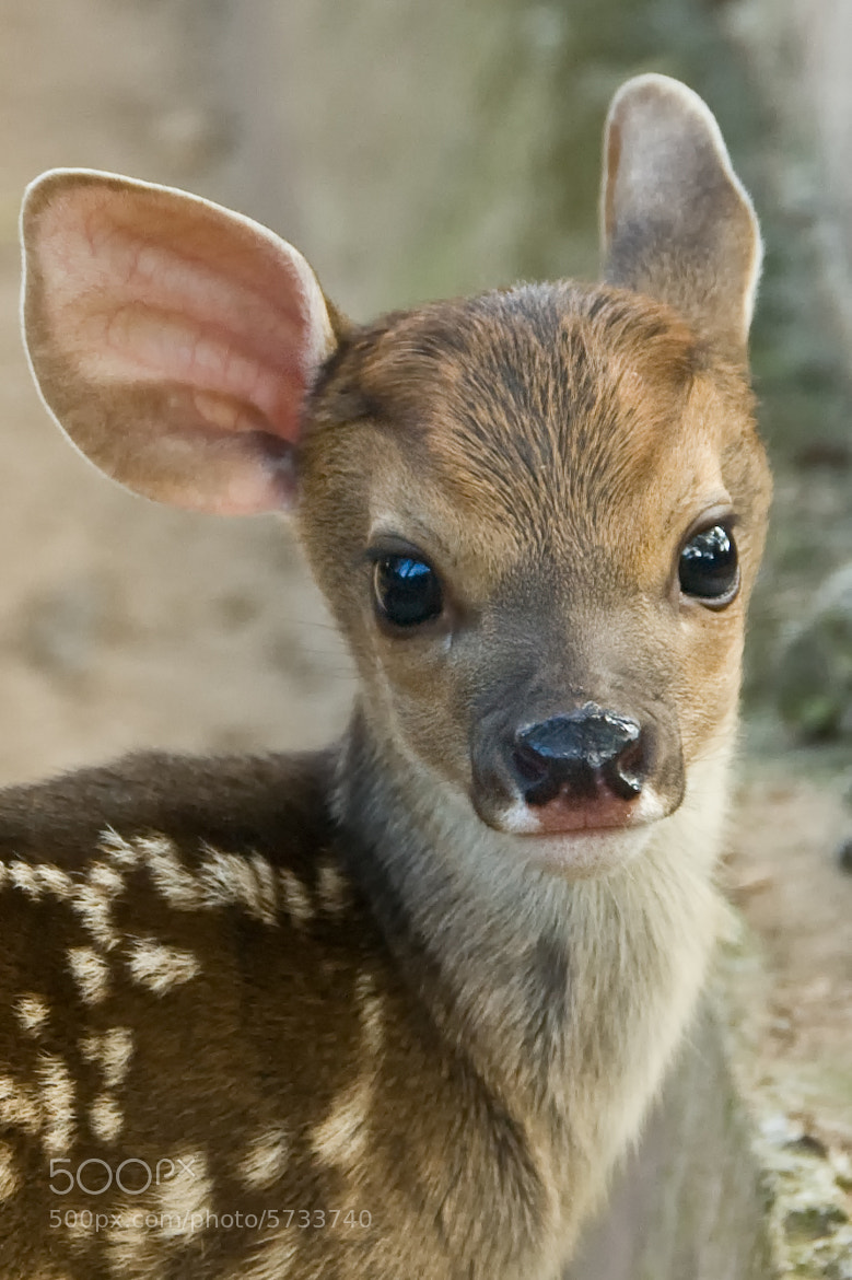Photograph Fawn by Matt Ellis on 500px