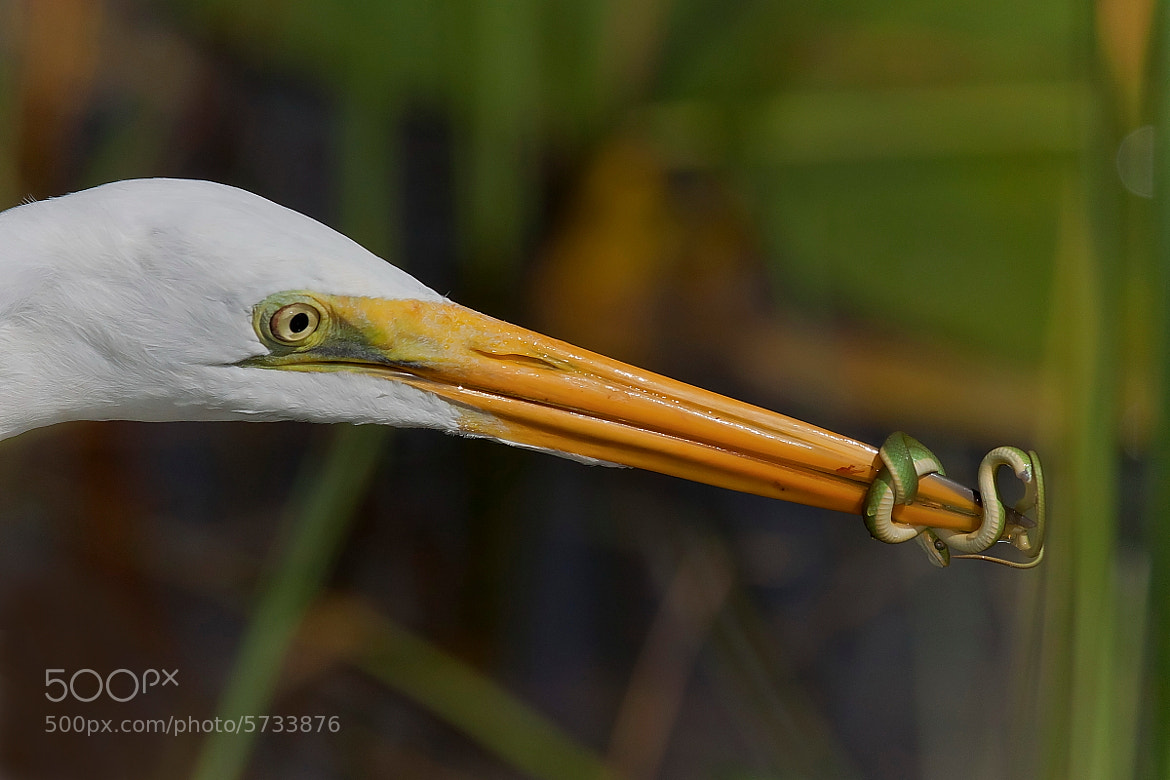 Photograph Great Egret and Snake by Miguel Angel Leyva on 500px