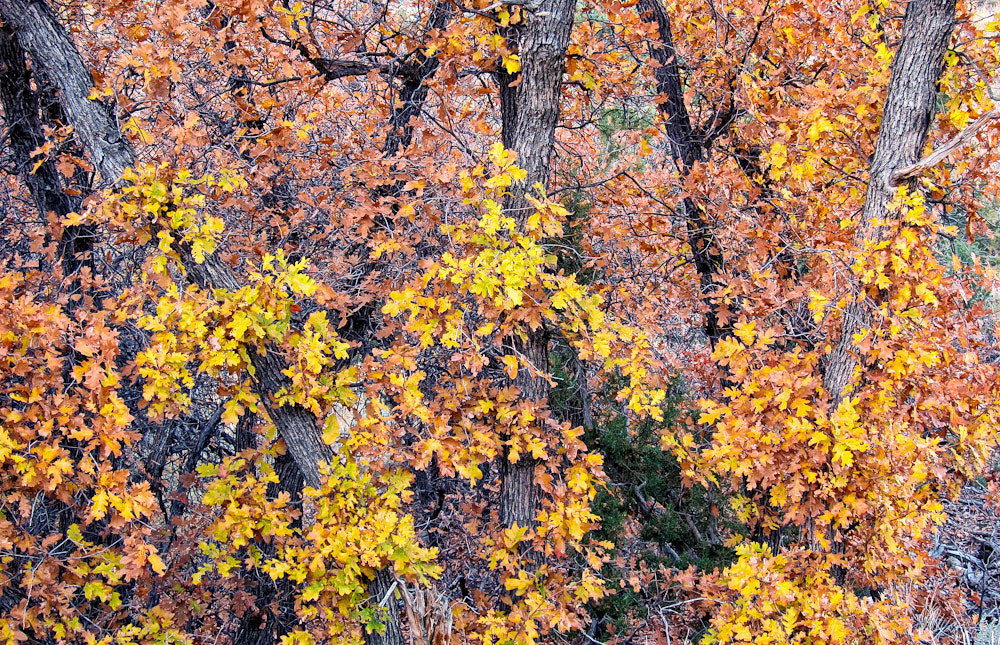 Photograph Autumn Oaks Along Pack Creek, Utah by Bret Edge on 500px