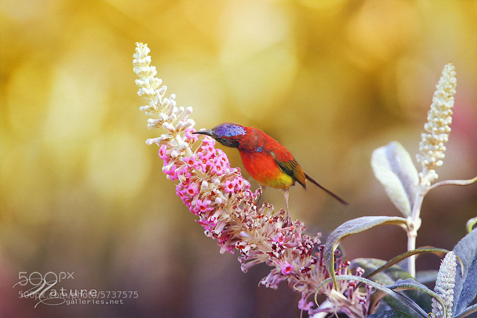 Photograph Mrs Gould's Sunbird II by Sasi - smit on 500px
