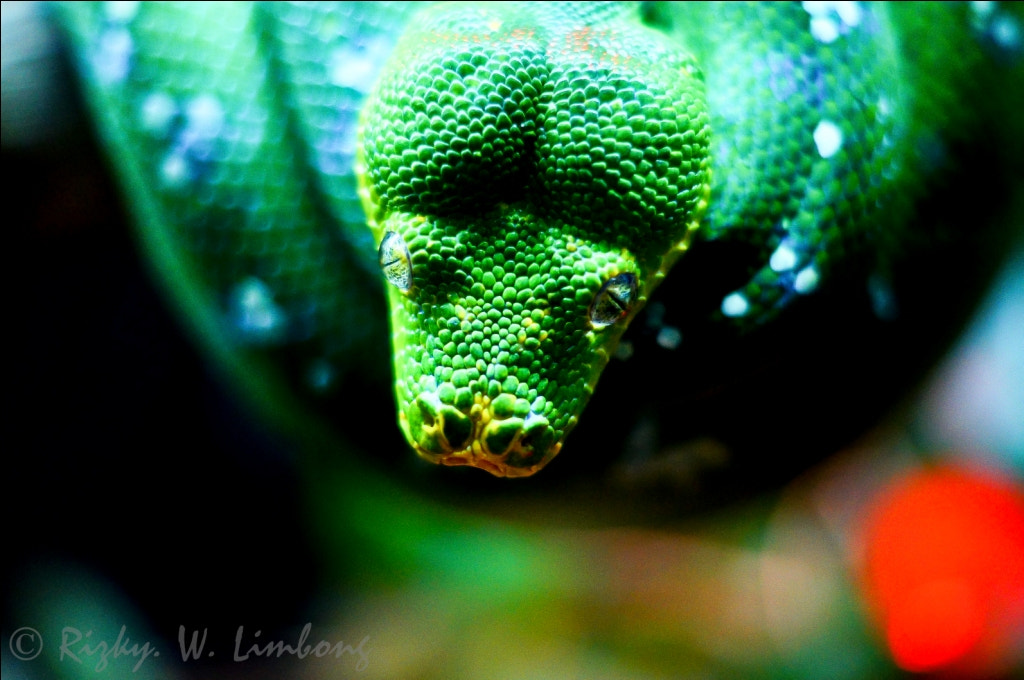 Photograph Green Python by Rizky. W. Limbong on 500px