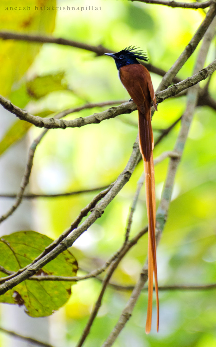 Photograph Asian Paradise Fly Catcher...!!! by Aneesh BR on 500px