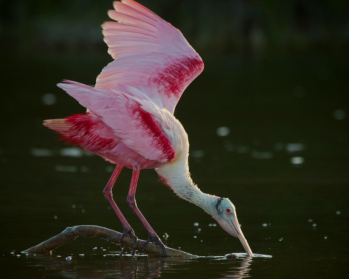 Photograph Roseta Spoonbill by Miguel Angel Leyva on 500px