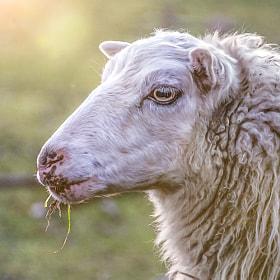 Schaf | Sheep