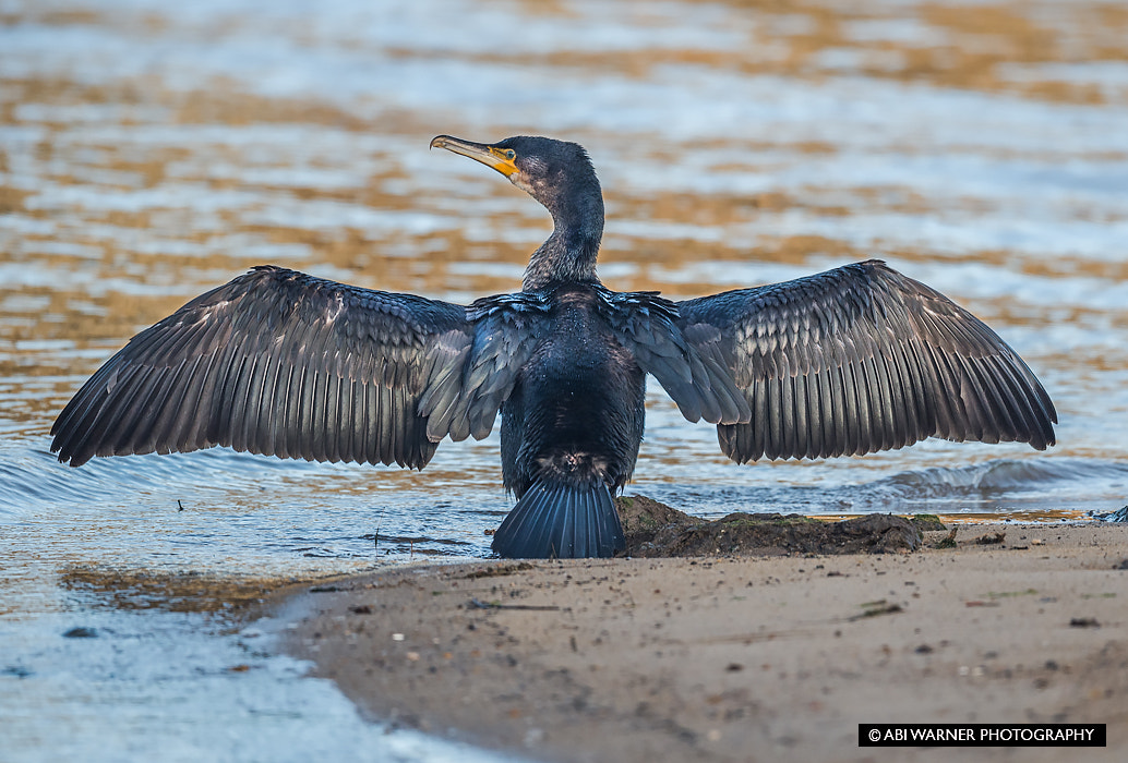 Photograph Cormorant by Abi Warner on 500px
