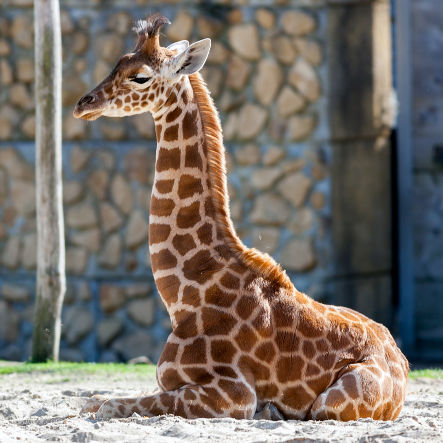 Photograph newborn Giraffe by Ivan Van Looy on 500px