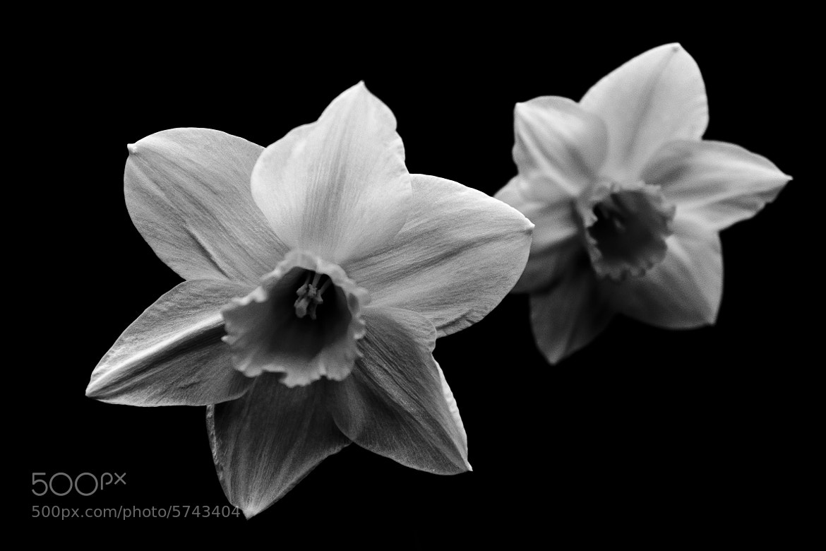 Photograph Daffodil Black And White by Adrian Crunkhurn on ...