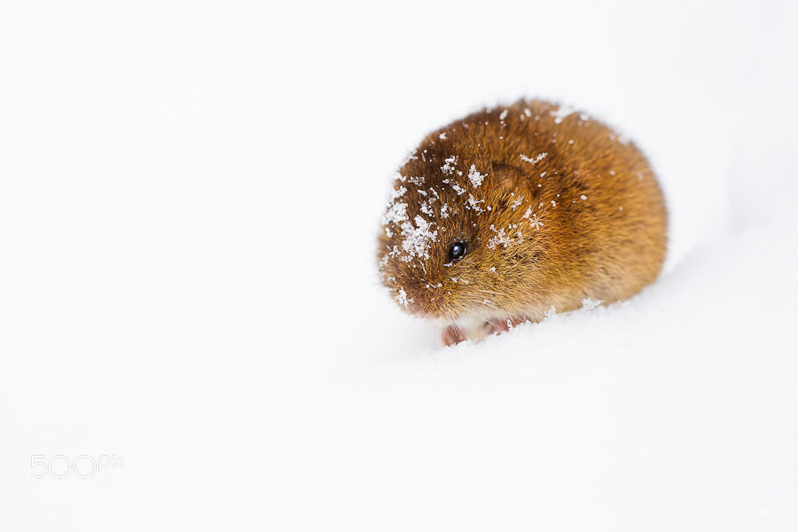 Snow Vole by Irene Mei