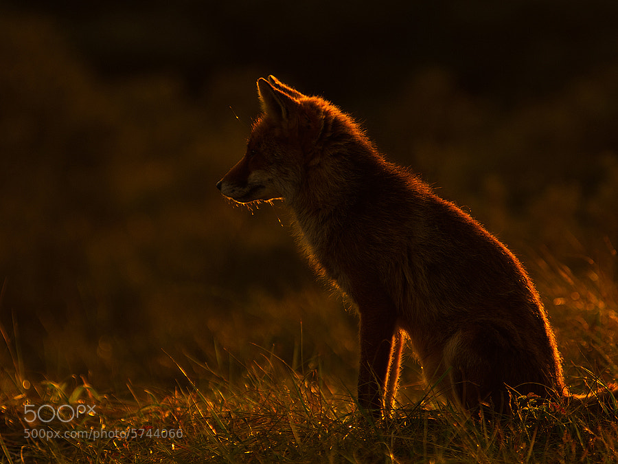 Fox in Sundown by Rob Janné (Rob_Janne) on 500px.com