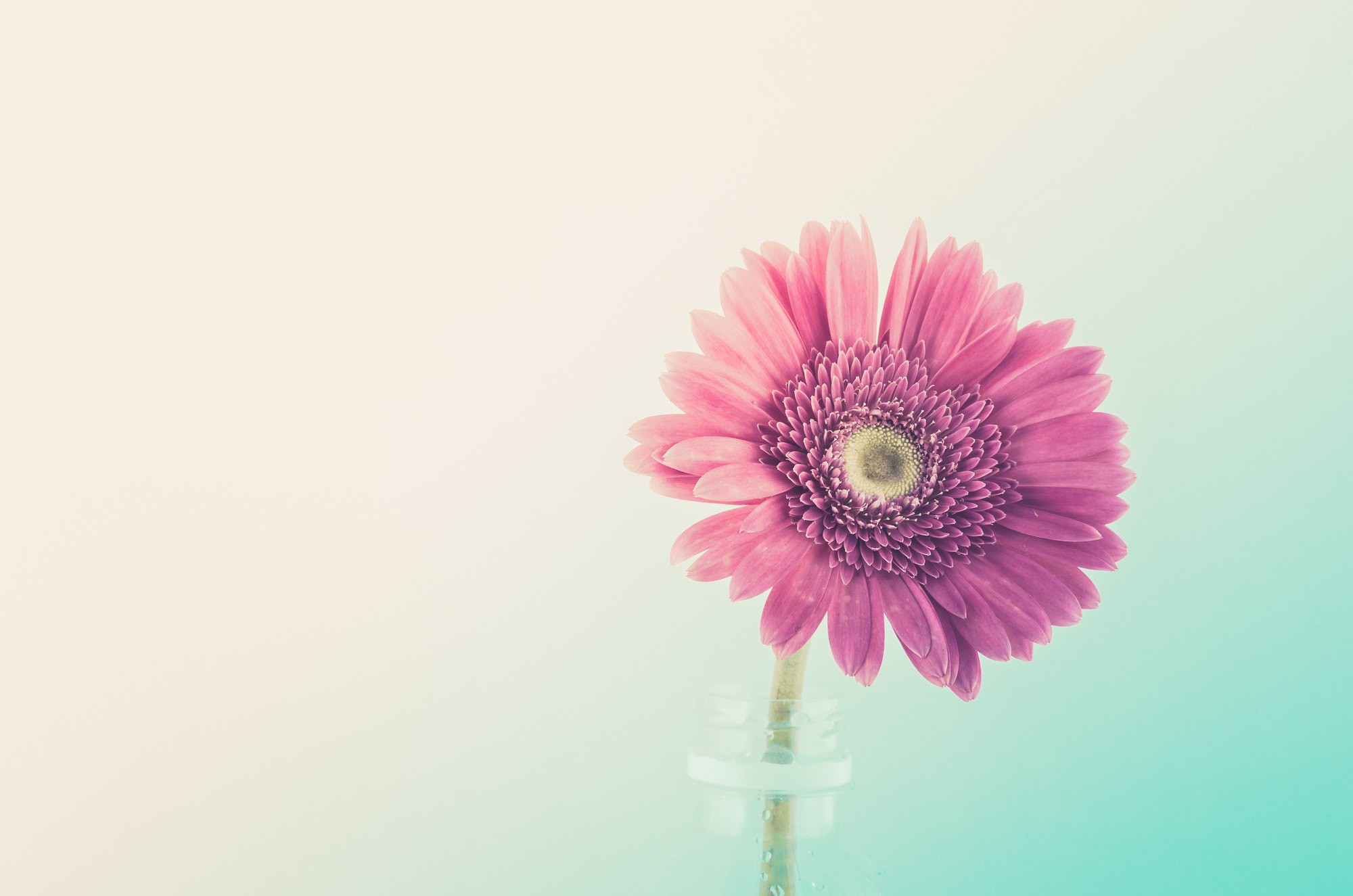 Photograph Pink gerbera daisy by Peerasith Chaisanit on 500px