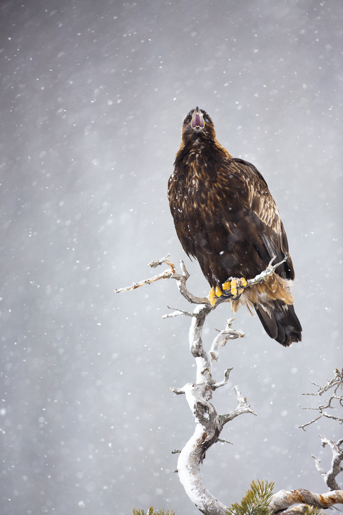 Photograph Golden Eagle calling by Keith Burtonwood on 500px