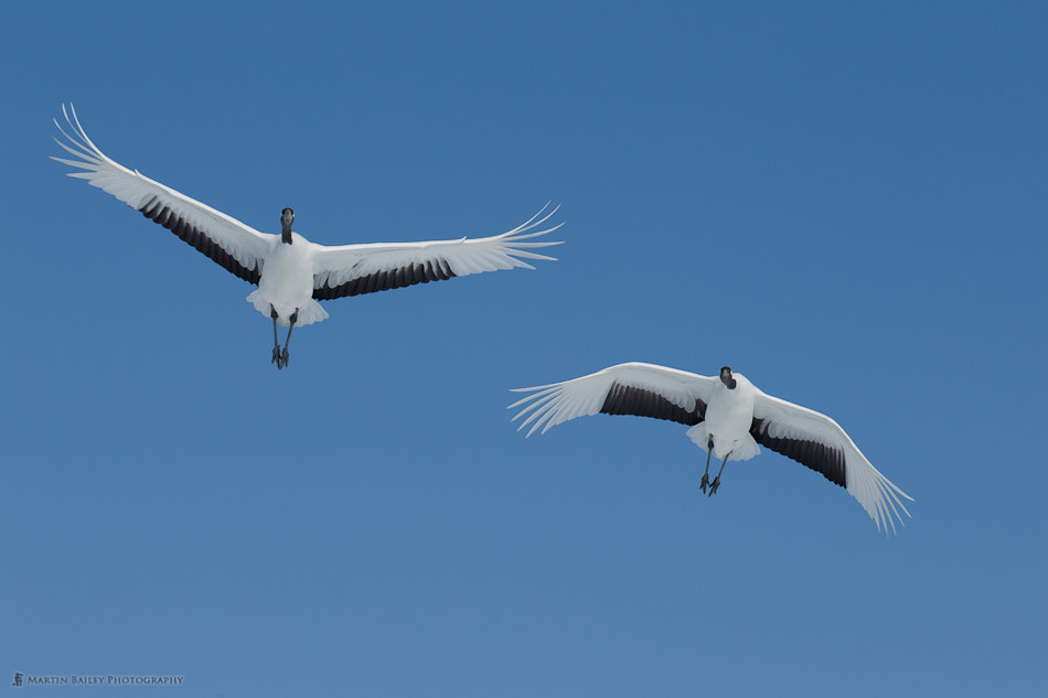 Photograph Japanese Red-Crowned Cranes by Martin Bailey on 500px