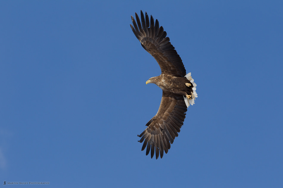 Photograph White-Tailed Eagle by Martin Bailey on 500px