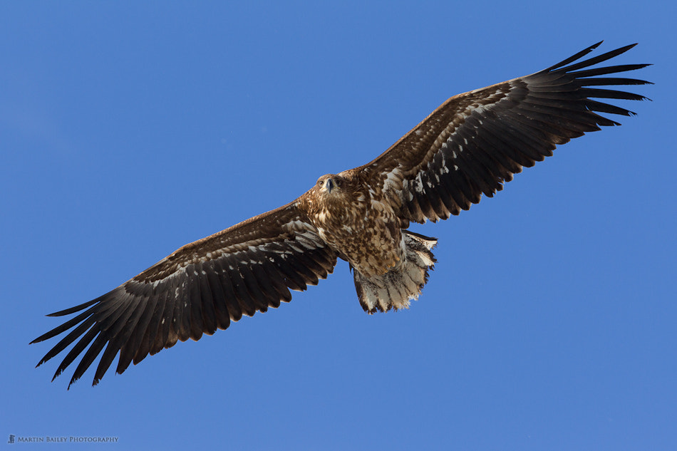 Photograph You White-Tailed Eagle by Martin Bailey on 500px