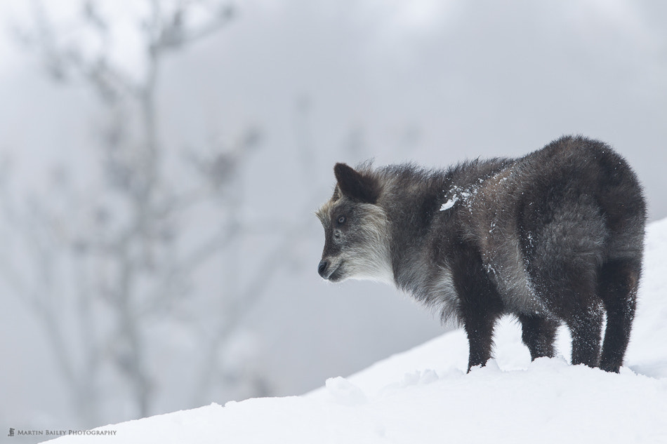 Photograph Japanese Serow by Martin Bailey on 500px