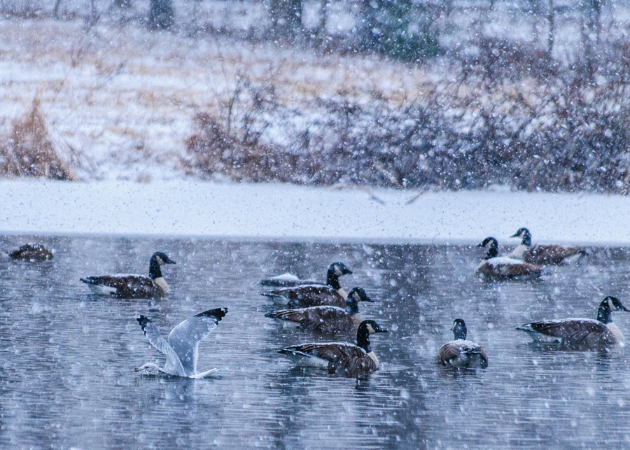 It is beautiful to watch birds land in water.  This bird would land, swim for a bit, some geese would chase it away, he would take off, circle, land again and hope like heck no one would notice I think.  I am happy with the way the snow makes it look abstract like a painting.