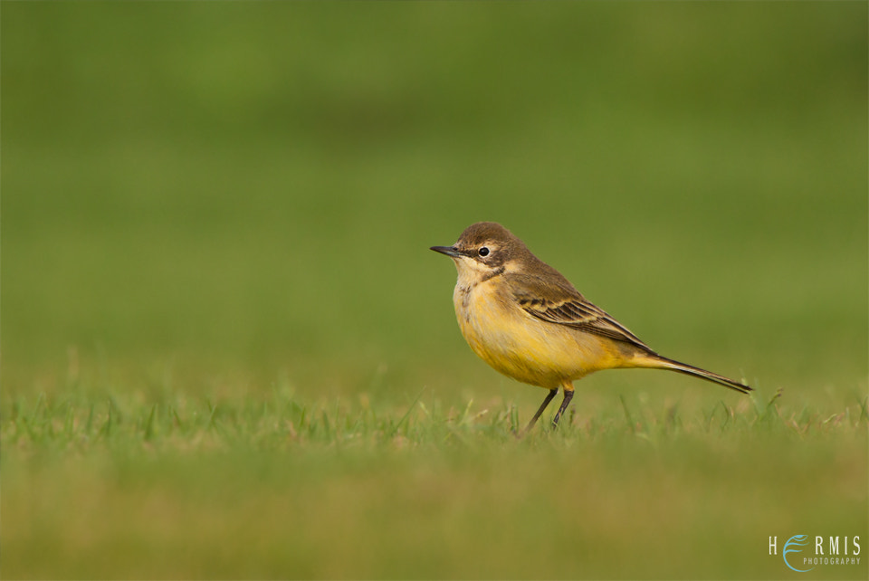Photograph Yellow Wagtail by Hermis Haridas on 500px