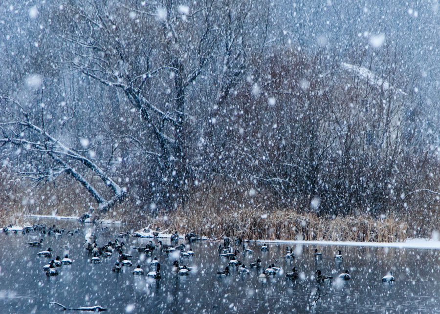 It was a beautiful soft snow falling.  I loved watching the geese and ducks just swim and not be bothered by snow falling upon their backs.  Nature gives us so much.