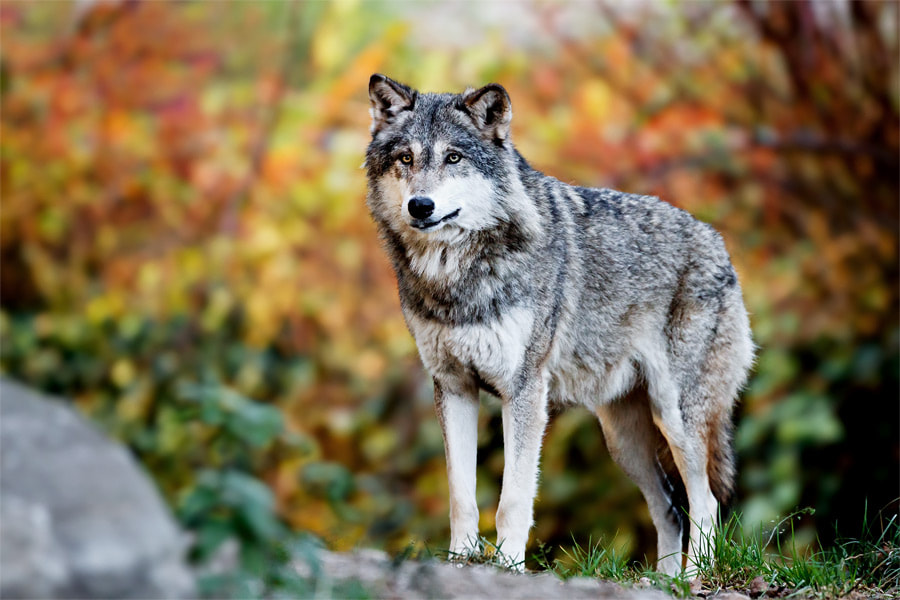 Photograph Autum Wolf by Steven Reburgh on 500px