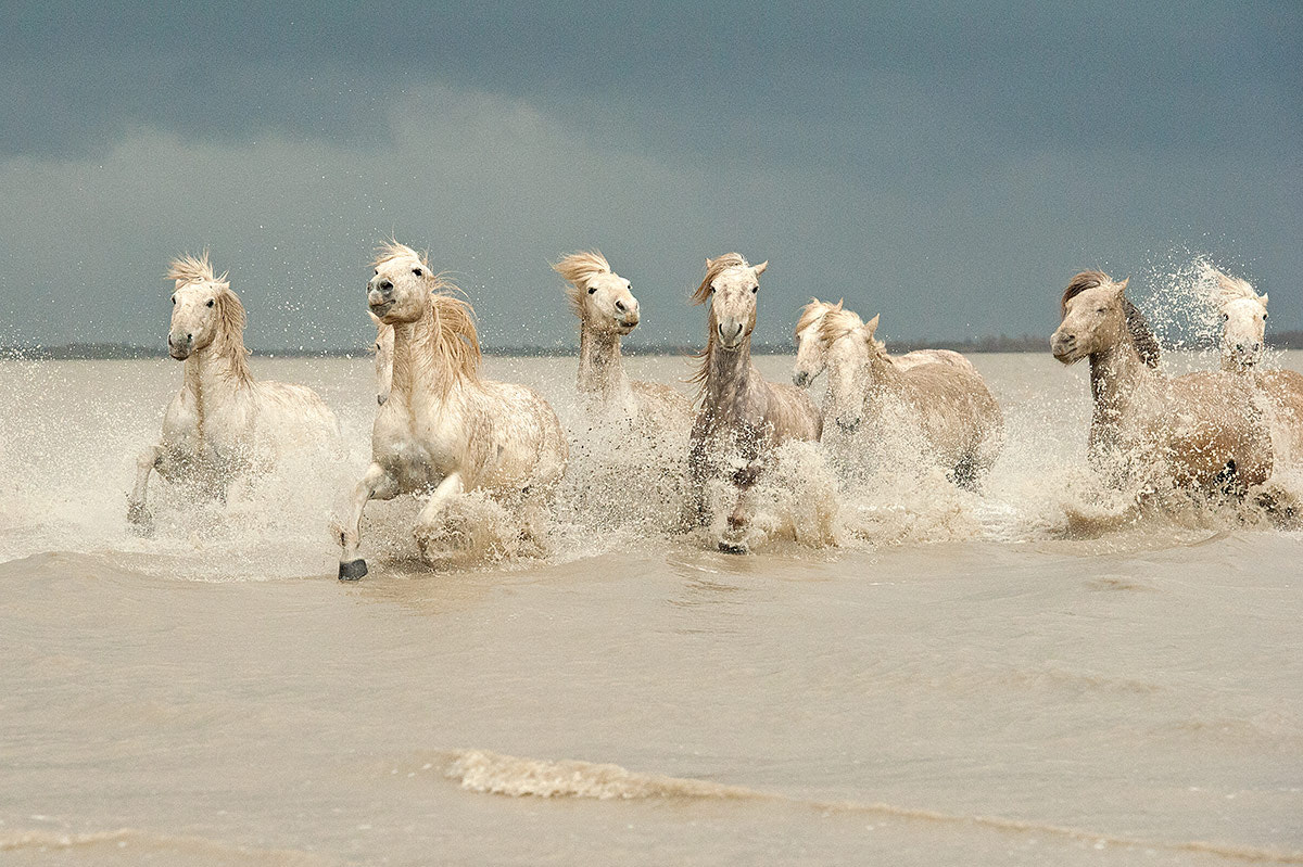 Photograph White Horses of The Camargue by Jenni Alexander on 500px