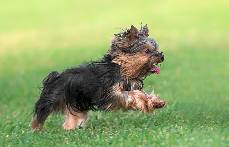 Photograph Flying Yorkie by KYRIAKOS STAVROU on 500px