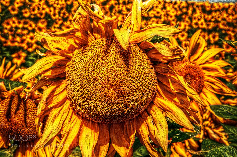 Photograph Sunflower by Lorenzo Salas-Morera on 500px