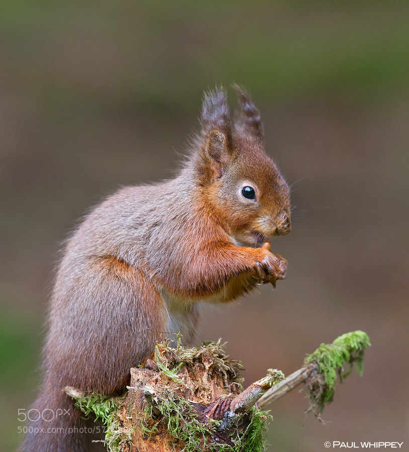 Photograph Red squirrel (Sciurus vulgaris) by Paul Whippey on 500px