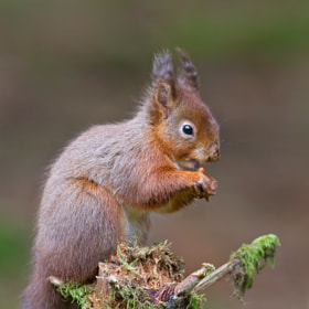 Red squirrel (Sciurus vulgaris) by Paul Whippey (pwhippey)) on 500px.com