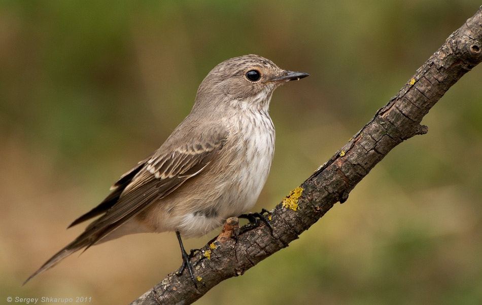 Photograph Spotted Flycatcher by Sergey Shkarupo on 500px