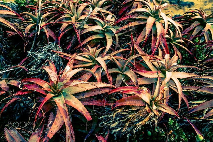 Aloe closeup by Sviatlana Kandybovich on 500px.com