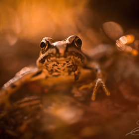 Frog of fire by Elodie Imbert on 500px.com