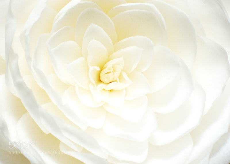 Photograph white Camelia by Paolo Costantino on 500px