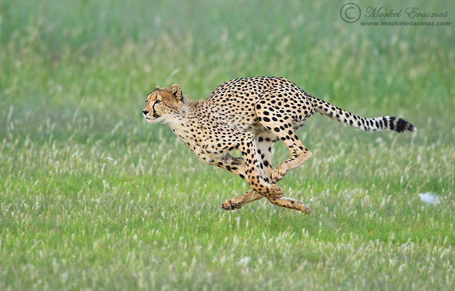 Photograph Flying Cheetah by Morkel Erasmus on 500px