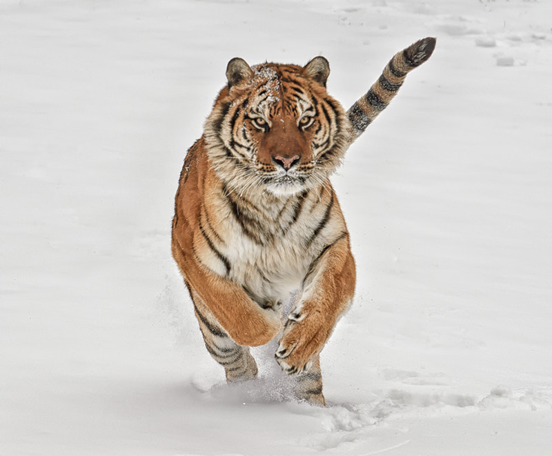 Photograph Tiger in the snow by Christopher R. Gray on 500px