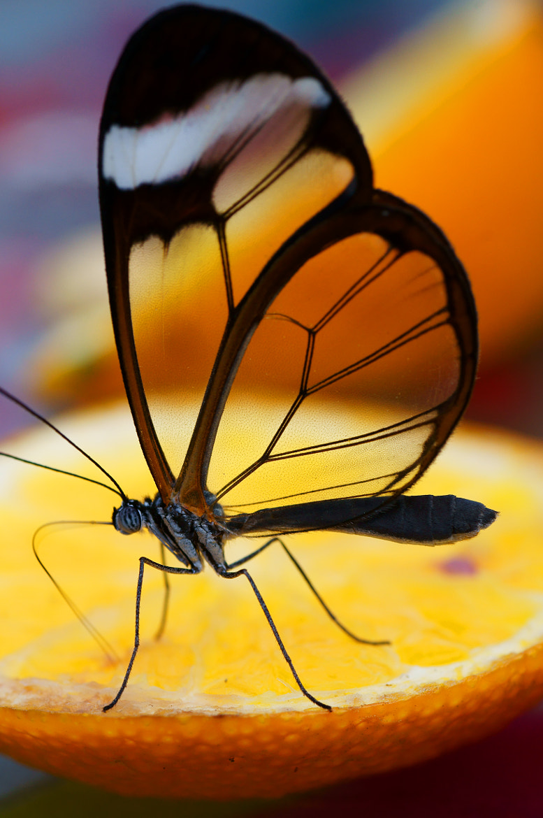 Photograph Glasswing Butterfly by fastchris on 500px