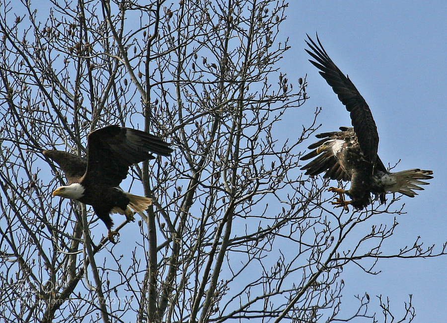 Two Bald Eagle compete for a favorite perch.