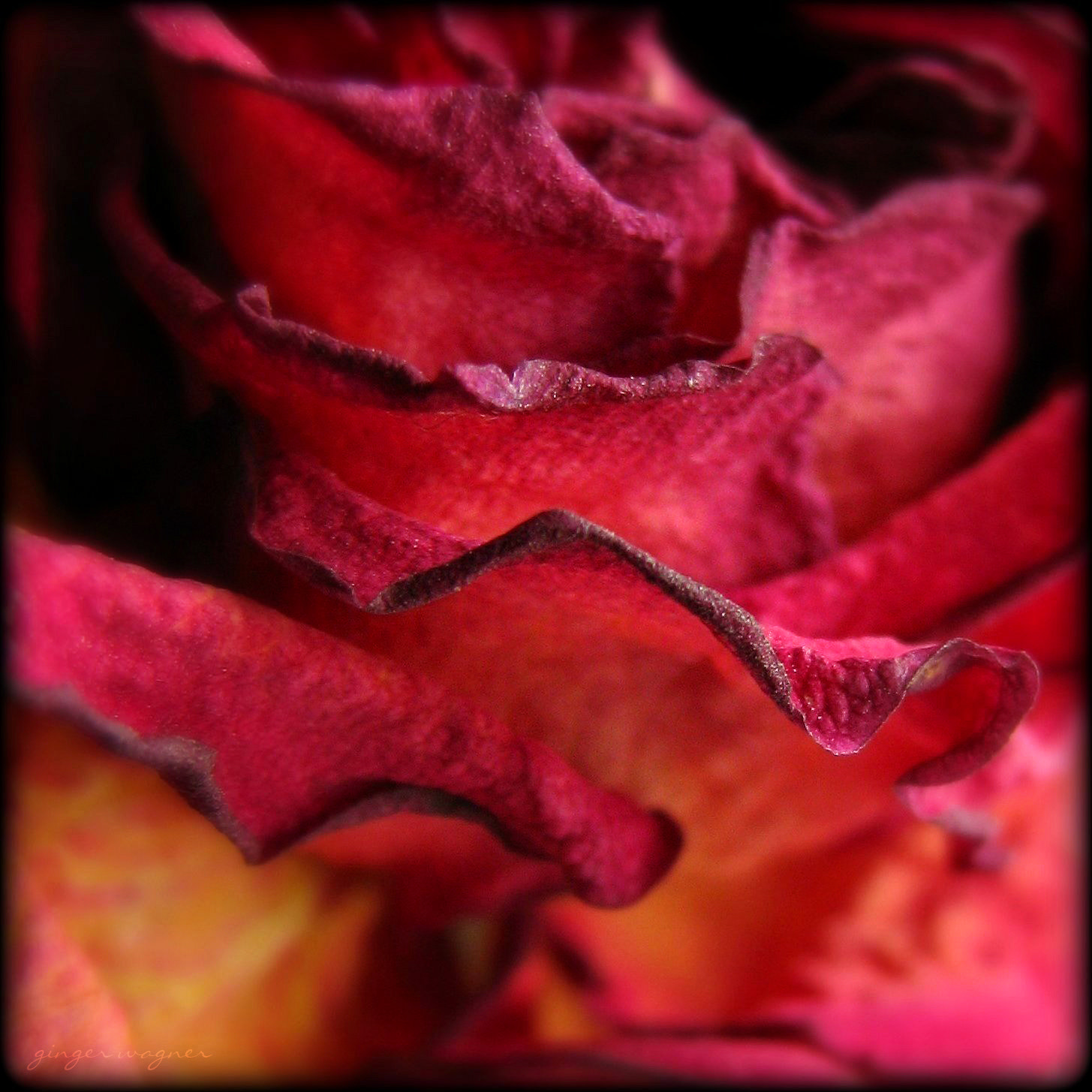 Photograph my son's rose by Ginger Wagner on 500px