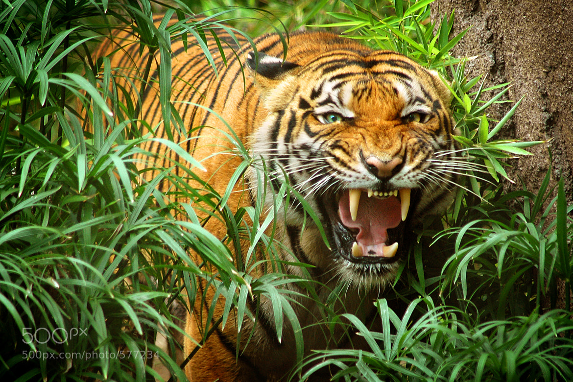 Image result for Indochinese Tiger