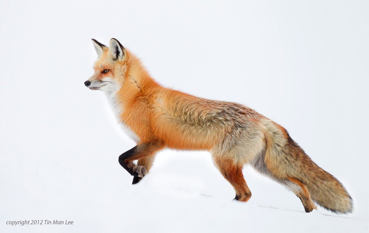 Photograph Yet another Red Fox by Tin Man on 500px