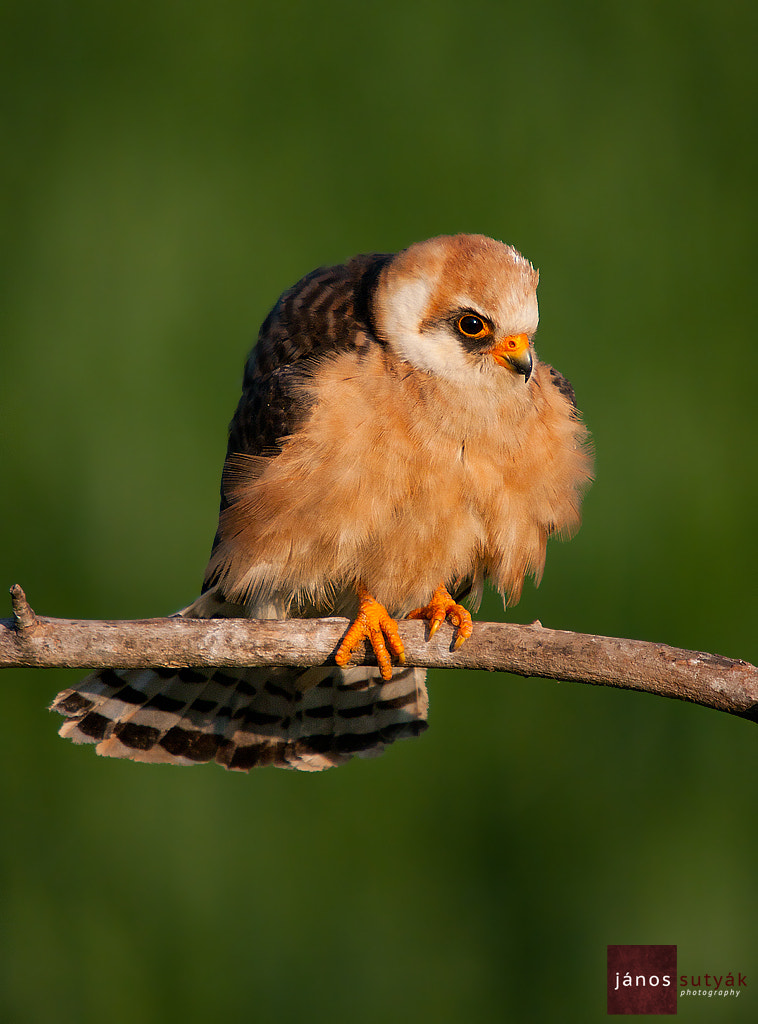 Photograph Red Footed Falcon by Janos Sutyak on 500px