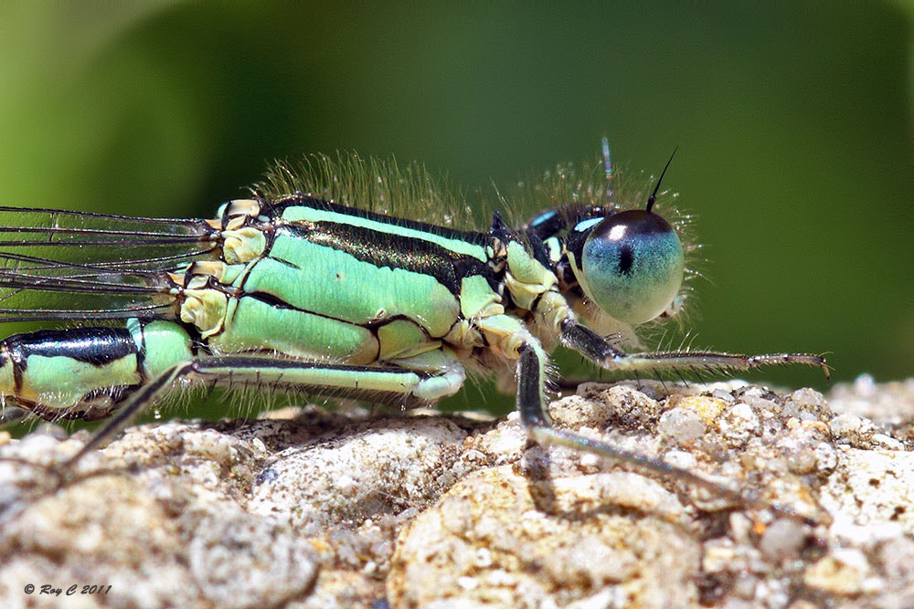 Photograph Blue-tailed Damselfly by Roy Churchill on 500px