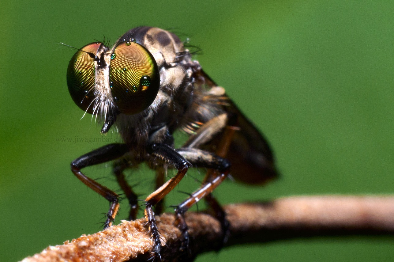Photograph Robberfly by Azizi Sulaiman on 500px