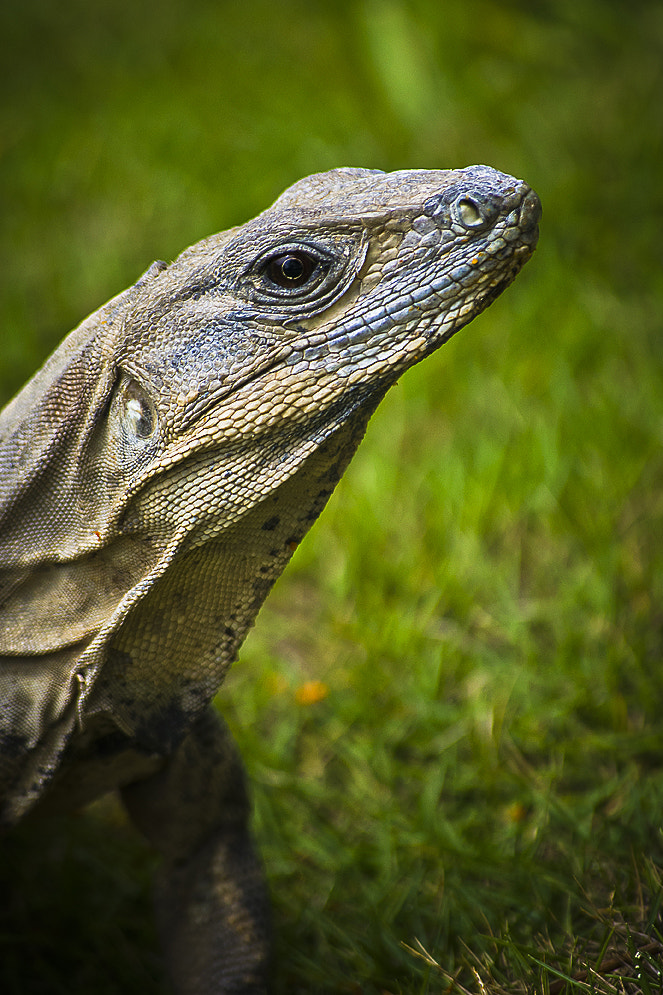 Photograph Mexican Iguana by Andy Butler on 500px
